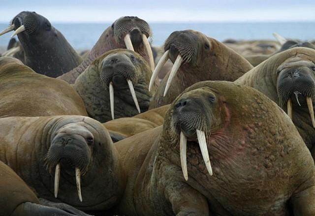 Top 5 loài động vật có kích thước 'khủng' nhất trên mặt đất ảnh 2