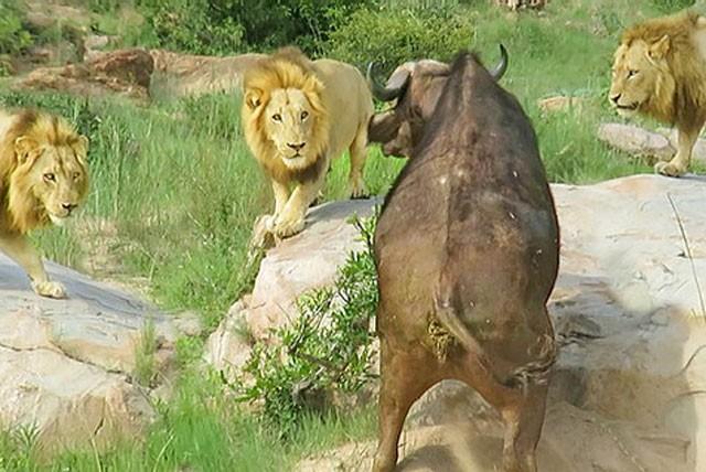 Trâu rừng chết thảm khi chạm mặt 3 con sư tử đực ảnh 1