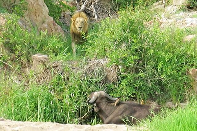 Trâu rừng chết thảm khi chạm mặt 3 con sư tử đực ảnh 2