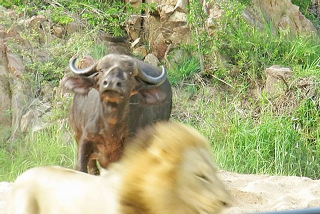 Trâu rừng chết thảm khi chạm mặt 3 con sư tử đực ảnh 3