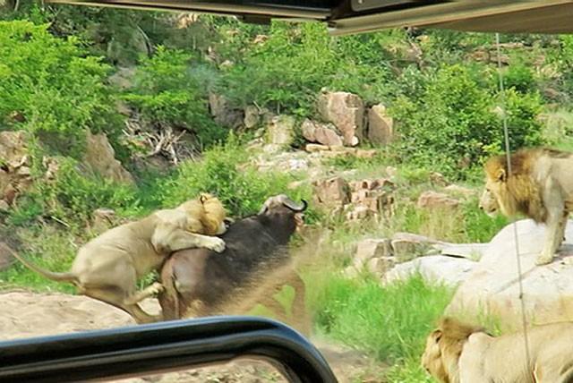 Trâu rừng chết thảm khi chạm mặt 3 con sư tử đực ảnh 4