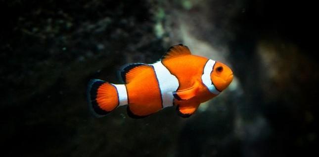Top 9 sự thật bất ngờ về 'quả cầu gai biết di chuyển' dưới biển ảnh 4