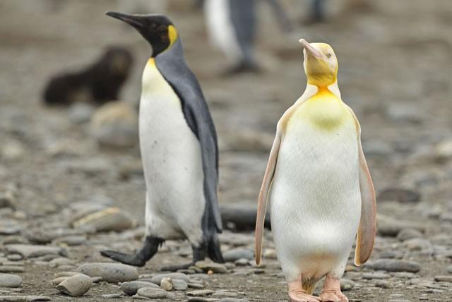 Phát hiện chim cánh cụt màu vàng kỳ lạ, 'hiếm có khó tìm' ảnh 2