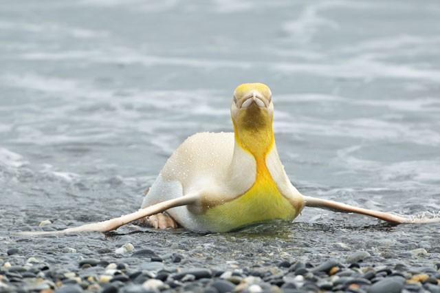 Phát hiện chim cánh cụt màu vàng kỳ lạ, 'hiếm có khó tìm' ảnh 3