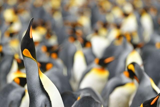 Phát hiện chim cánh cụt màu vàng kỳ lạ, 'hiếm có khó tìm' ảnh 7