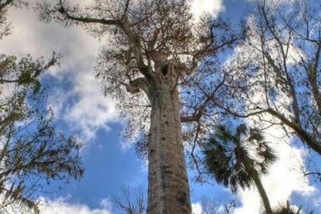 Khám phá 7 cây có tuổi thọ 'khủng' nhất thế giới từng được con người phát hiện ảnh 1