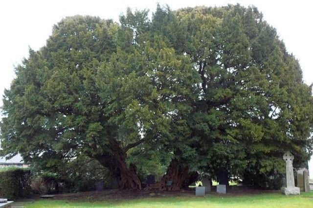 Khám phá 7 cây có tuổi thọ 'khủng' nhất thế giới từng được con người phát hiện ảnh 3