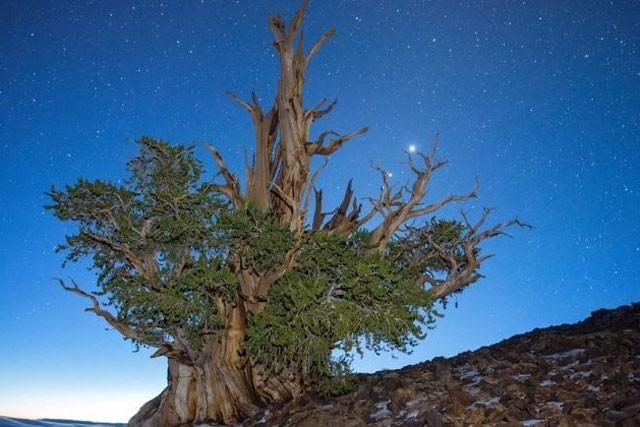 Khám phá 7 cây có tuổi thọ 'khủng' nhất thế giới từng được con người phát hiện ảnh 4
