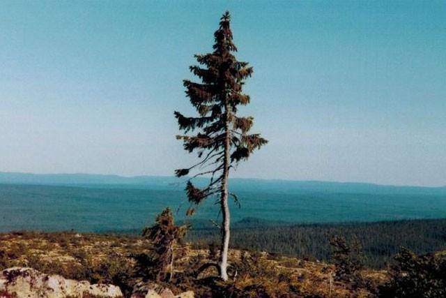 Khám phá 7 cây có tuổi thọ 'khủng' nhất thế giới từng được con người phát hiện ảnh 5
