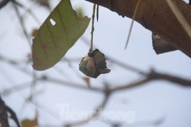 Rợn người cảnh đàn sâu lúc nhúc, vặt trụi lá nhiều cây bàng trong một đêm ảnh 5
