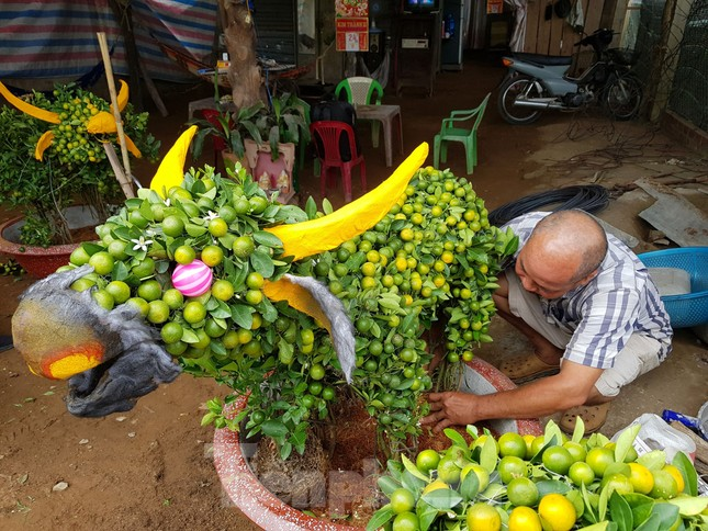 Người trồng mai ở TPHCM gấp rút tỉa lá, trâu vàng 'cõng' quất hút khách miền Tây ảnh 12