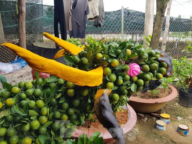 Người trồng mai ở TPHCM gấp rút tỉa lá, trâu vàng 'cõng' quất hút khách miền Tây ảnh 13