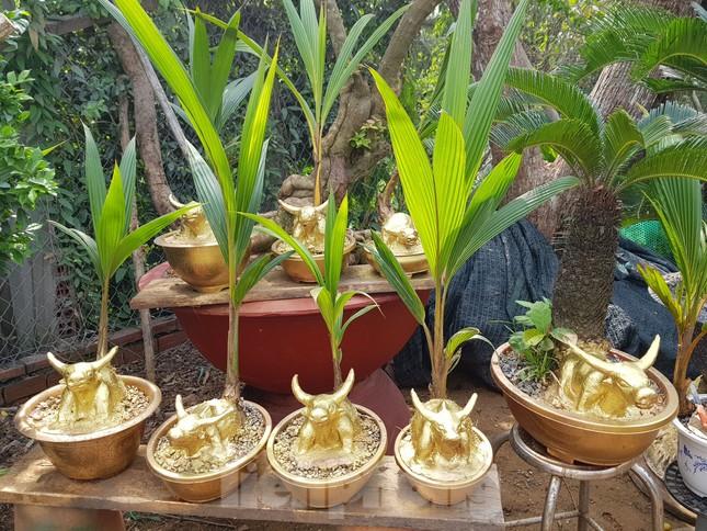 Người trồng mai ở TPHCM gấp rút tỉa lá, trâu vàng 'cõng' quất hút khách miền Tây ảnh 15