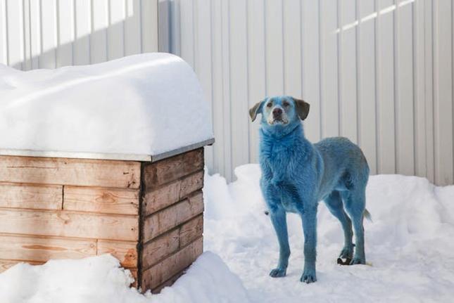 """Nga: Nhiều chú chó bỗng hóa """"xanh"""", nghi ngờ do nhiễm hóa chất độc hại ảnh 1"""