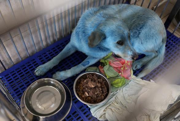 """Nga: Nhiều chú chó bỗng hóa """"xanh"""", nghi ngờ do nhiễm hóa chất độc hại ảnh 3"""