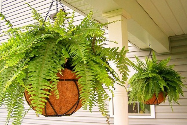 Trồng những loại cây này trong nhà, vừa khỏe mạnh vừa dồi dào tài lộc ảnh 1