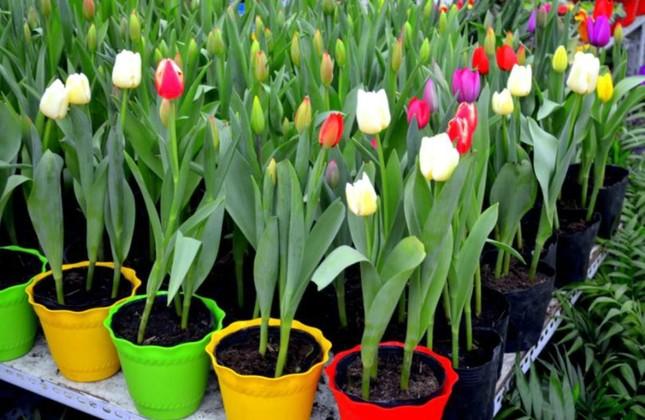 Những loại hoa được cắm nhiều ngày Tết nhưng lại chứa chất cực độc ảnh 4