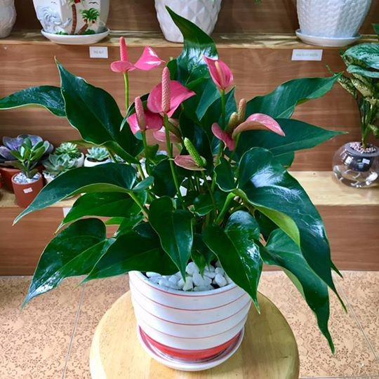Những loại cây nhiều người ưa trồng trong nhà nhưng lại chứa nhiều chất cực độc ảnh 3