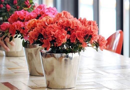 Những loại hoa được cắm nhiều ngày Tết nhưng lại chứa chất cực độc ảnh 1