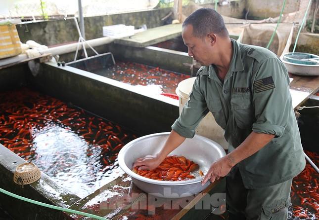 Làng nghề cá chép đỏ tất bật trước ngày ông Công ông Táo ảnh 1