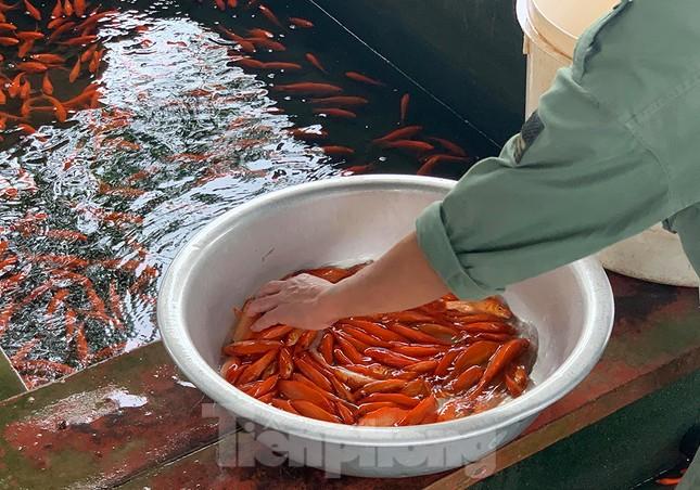 Làng nghề cá chép đỏ tất bật trước ngày ông Công ông Táo ảnh 4