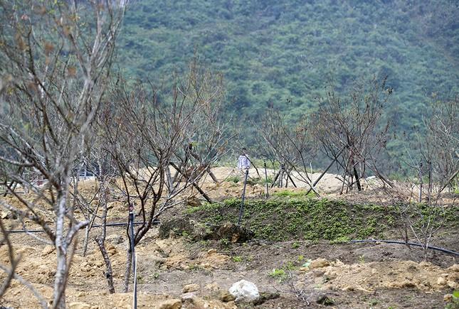 Đào rừng Hà Giang hé nụ đón năm mới 2021 ảnh 10