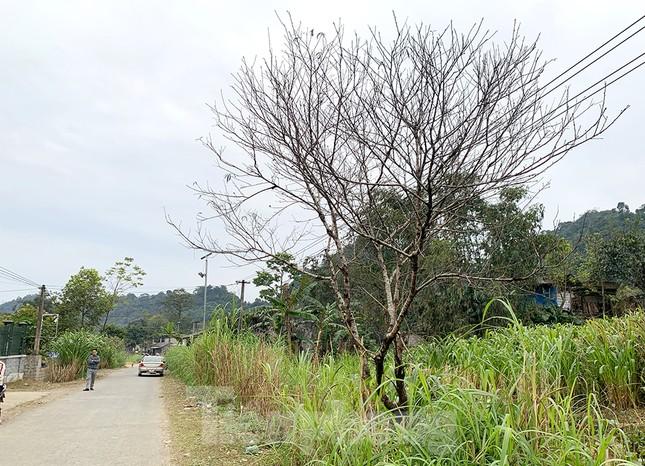 Đào rừng Hà Giang hé nụ đón năm mới 2021 ảnh 2
