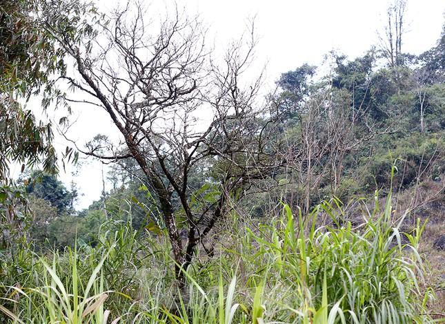 Đào rừng Hà Giang hé nụ đón năm mới 2021 ảnh 3