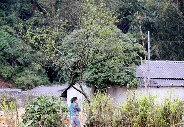 Đào rừng Hà Giang hé nụ đón năm mới 2021 ảnh 4