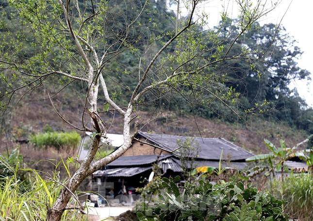 Đào rừng Hà Giang hé nụ đón năm mới 2021 ảnh 5
