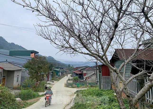 Đào rừng Hà Giang hé nụ đón năm mới 2021 ảnh 7