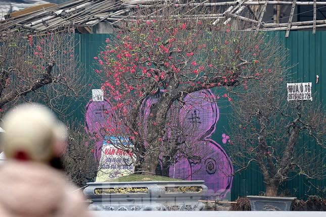 """Chiêm ngưỡng cây đào """"khủng"""" giá 100 triệu ở Thủ đô ảnh 13"""