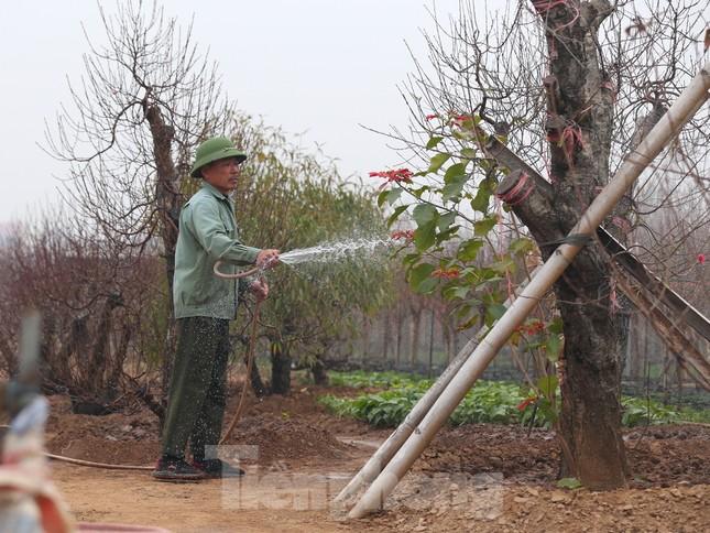 Làng đào Nhật Tân vào mùa ảnh 1