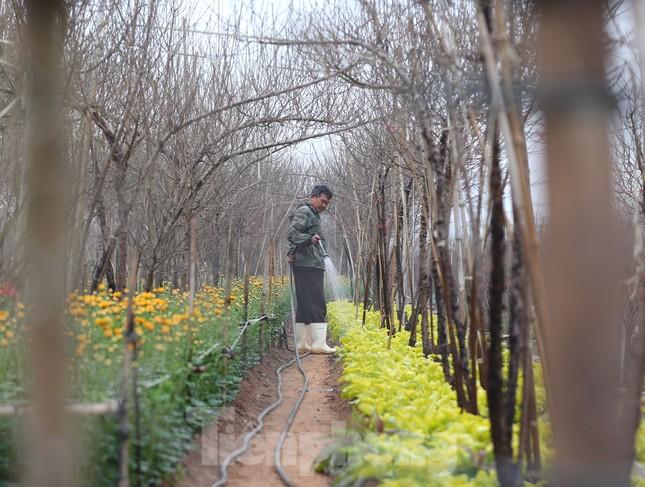 Làng đào Nhật Tân vào mùa ảnh 2