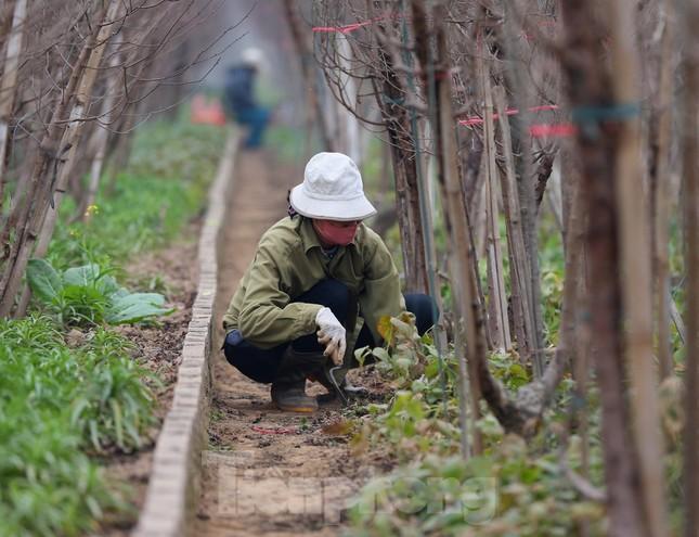 Làng đào Nhật Tân vào mùa ảnh 8