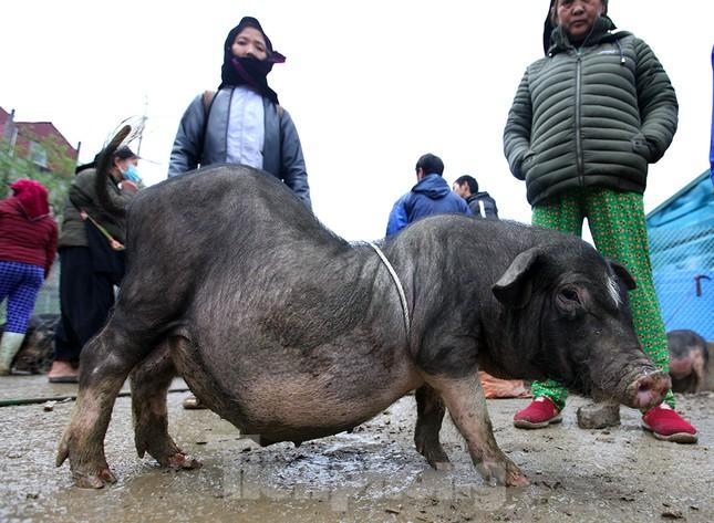 Cách chọn mua lợn 'có một không hai' ở chợ phiên Mèo Vạc ảnh 6