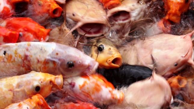 Đến Đại nội Huế ngắm đàn cá 'khủng' 5.000 con lấy may ngày đầu năm 2020 ảnh 2