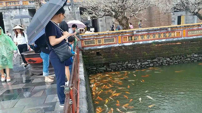 Đến Đại nội Huế ngắm đàn cá 'khủng' 5.000 con lấy may ngày đầu năm 2020 ảnh 5