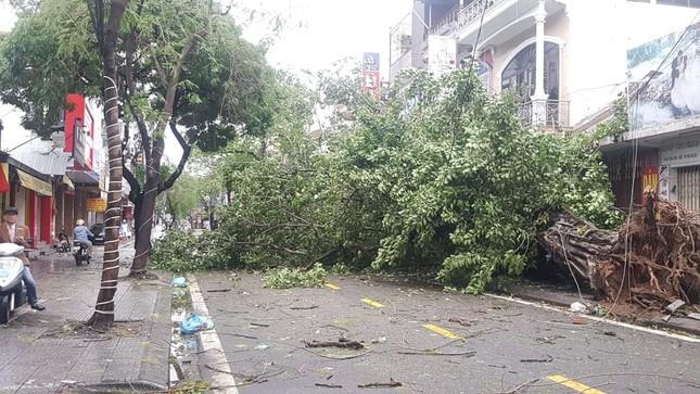 'Cụ' xà cừ số 13 cổ nhất tại Huế bị bão cùng tên quật đổ bật cả gốc gây tiếc nuối ảnh 7
