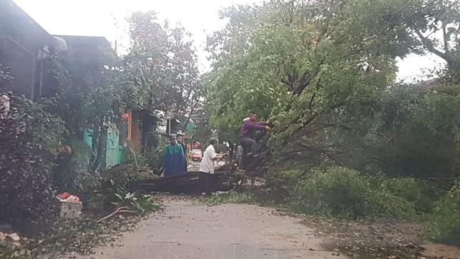 'Cụ' xà cừ số 13 cổ nhất tại Huế bị bão cùng tên quật đổ bật cả gốc gây tiếc nuối ảnh 8