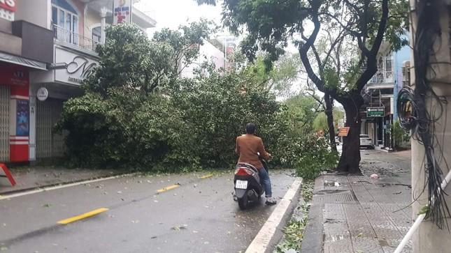 'Cụ' xà cừ số 13 cổ nhất tại Huế bị bão cùng tên quật đổ bật cả gốc gây tiếc nuối ảnh 9