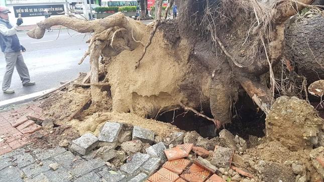 'Cụ' xà cừ số 13 cổ nhất tại Huế bị bão cùng tên quật đổ bật cả gốc gây tiếc nuối ảnh 10