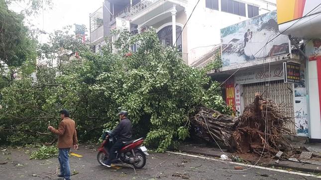 'Cụ' xà cừ số 13 cổ nhất tại Huế bị bão cùng tên quật đổ bật cả gốc gây tiếc nuối ảnh 11