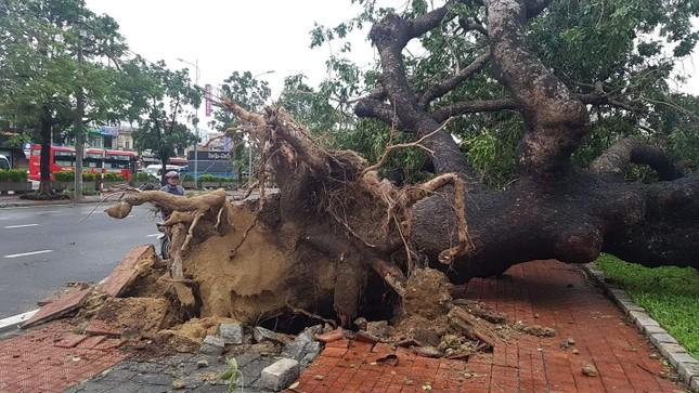 'Cụ' xà cừ số 13 cổ nhất tại Huế bị bão cùng tên quật đổ bật cả gốc gây tiếc nuối ảnh 17
