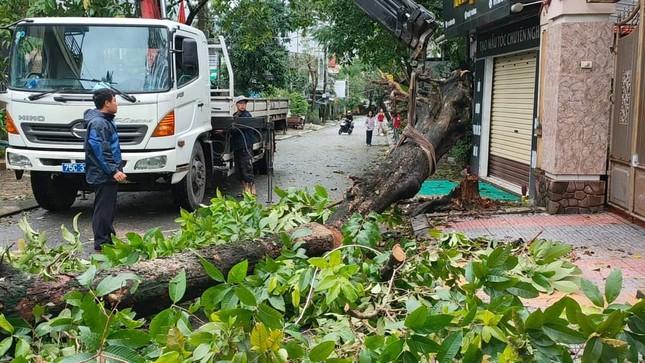 'Cụ' xà cừ số 13 cổ nhất tại Huế bị bão cùng tên quật đổ bật cả gốc gây tiếc nuối ảnh 12