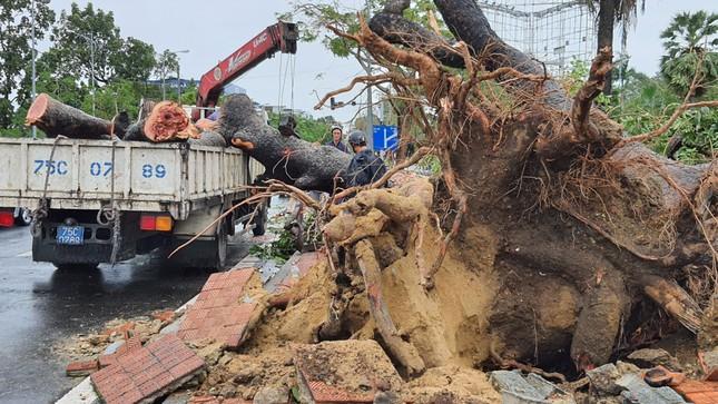'Cụ' xà cừ số 13 cổ nhất tại Huế bị bão cùng tên quật đổ bật cả gốc gây tiếc nuối ảnh 3