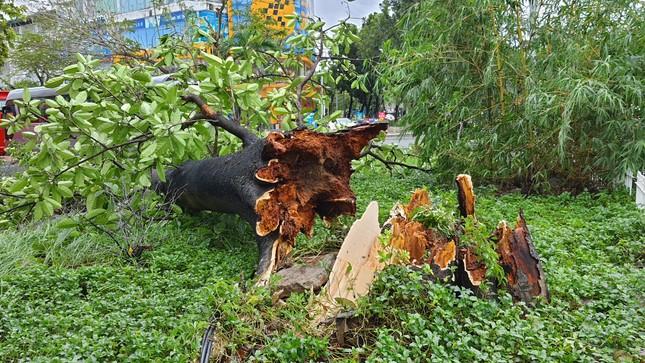 'Cụ' xà cừ số 13 cổ nhất tại Huế bị bão cùng tên quật đổ bật cả gốc gây tiếc nuối ảnh 6