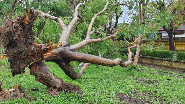 'Cụ' xà cừ số 13 cổ nhất tại Huế bị bão cùng tên quật đổ bật cả gốc gây tiếc nuối ảnh 5