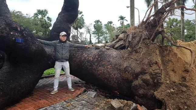 'Cụ' xà cừ số 13 cổ nhất tại Huế bị bão cùng tên quật đổ bật cả gốc gây tiếc nuối ảnh 4