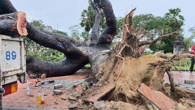 'Cụ' xà cừ số 13 cổ nhất tại Huế bị bão cùng tên quật đổ bật cả gốc gây tiếc nuối ảnh 2